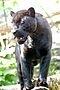 Thumbnail: Чёрная пантера