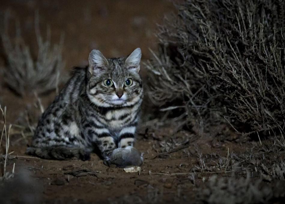 Самая смертоносная кошка в мире